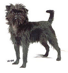 affenpinscher-dog-breed-info