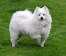 American Eskimo Dog Breed History