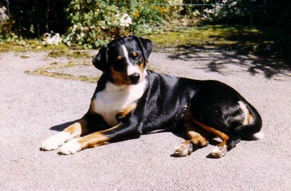Appenzeller Sennenhund Dog Breed Information