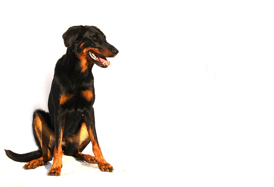 Beauceron Dog Breed Information