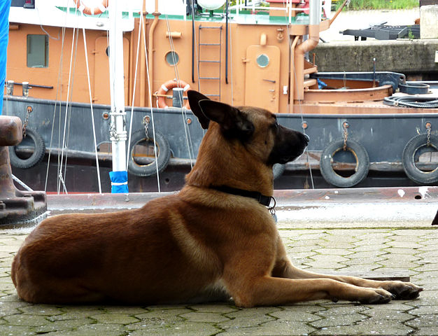 belgian-malinois-dog-breed