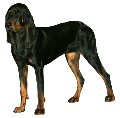Black and Tan Coonhound Dog