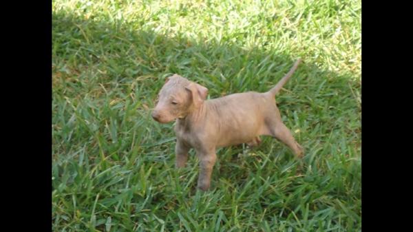 cachorro_de_xoloitzcuintle