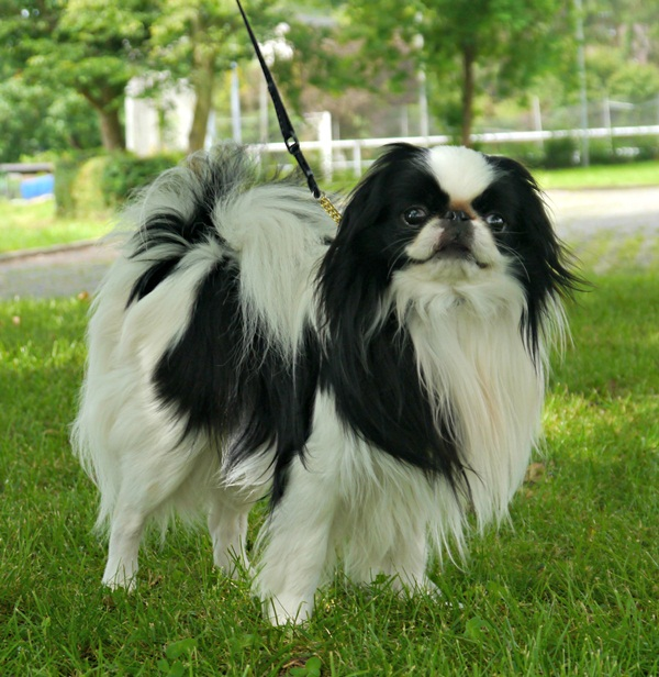 Japanese Chin – This breeds of dogs is an average shedder