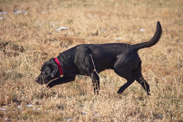 labrador-retriever-breeders