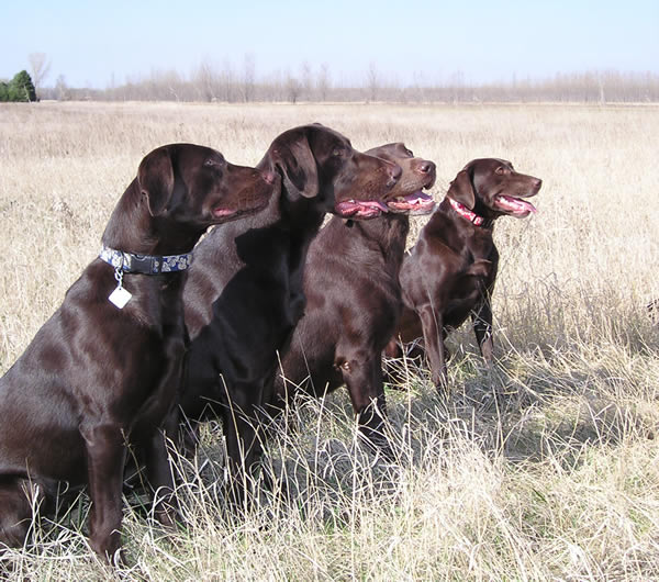 Labrador Retriever Dog BreedInfo