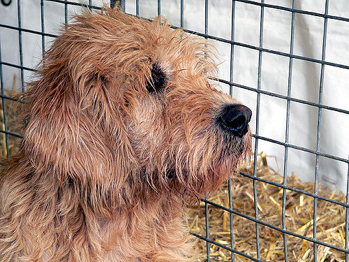 otterhound-dog