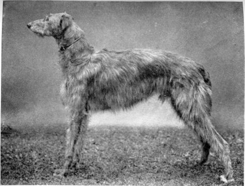 scottish-deerhound-dog