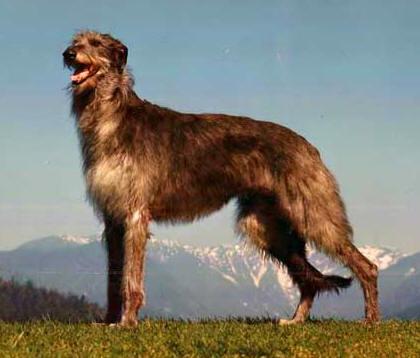 Scottish Deerhound Dog BreedInformation