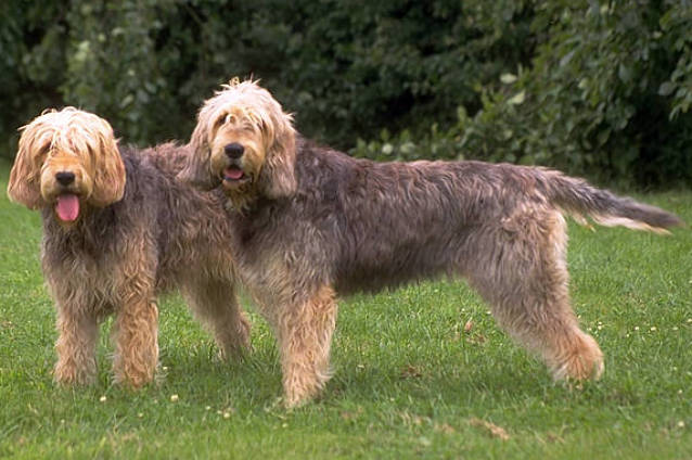 Otterhound Dog Breed