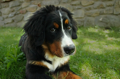 bernese-mountain