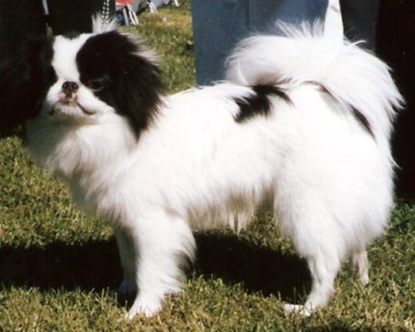 japanese-chin-breed