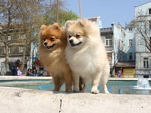 pomeranian-dog