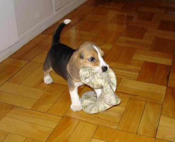 puppy_beagle