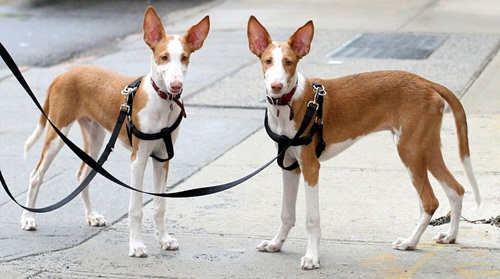 Ibizan Hound Dog Breed