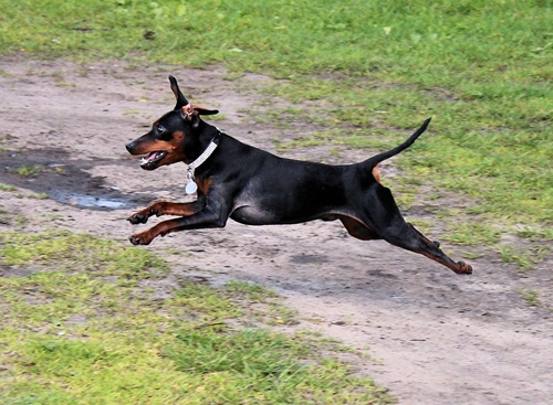 Reh Pinscher Pet Dog Miniature Pinscher Striezel