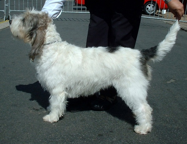petit-basset-griffon-vendeen-dog