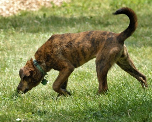 Plott Hound Dog Breed