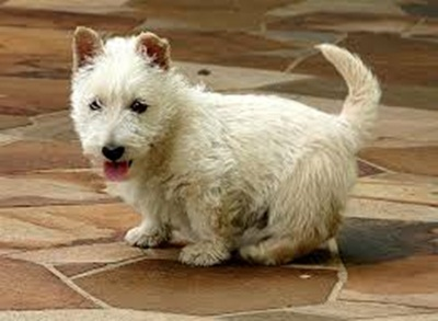 scottish-terrier-dog