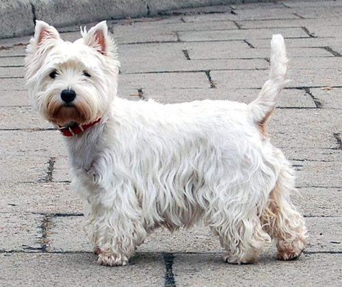 West Highland White Terrier DogBreed