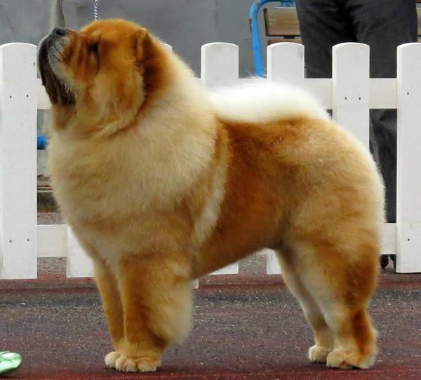 Chow Chow DogBreed