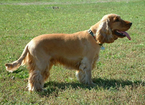English Cocker Spaniel Dog Breed Info