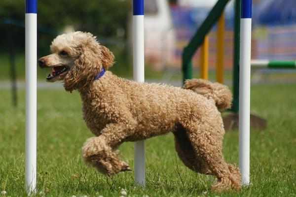 Poodle Dog BreedInfo